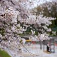 桜咲く公園